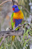 Rainbow lorikeet. A rainbow lorikeet parrot in Queensland, Australia Royalty Free Stock Photos