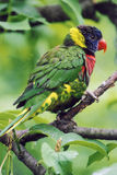 Rainbow Lorikeet. Colorful rainbow lorikeet, native to Australia Stock Image