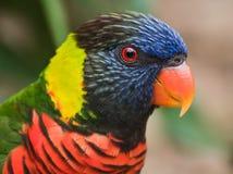 Rainbow Lorikeet. Close-up bird portrait of Rainbow Lorikeet, Trichoglossus haematodus stock images