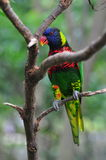 Rainbow Lorikeet Royalty Free Stock Image