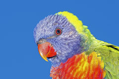 Rainbow Lorikeet. A closeup of a beautiful Rainbow Lorikeet, Trichoglossus haematodus, with a blue sky background Stock Image