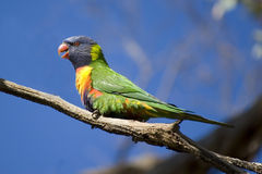 Rainbow Lorikeet. A rainbow lorikeet (Australian parrot) sitting on a gum tree, clear blue sky Stock Photos