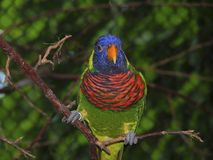 Rainbow lorikeet. Taken at the Quebec city zoological park royalty free stock photography