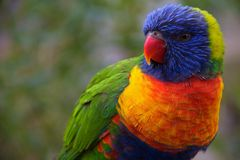 Rainbow Lorikeet Stock Images
