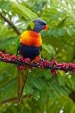 Rainbow Lorikeet Fotografia Stock Libera da Diritti