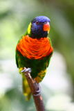 Rainbow Lorikeet Immagine Stock