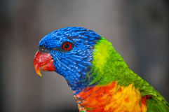 Rainbow Lorikeet Fotografie Stock