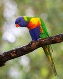 Rainbow lorikeet. Single rainbow lorikeet perched in tree, staring down Stock Photo