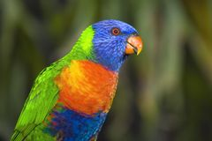 Rainbow Lorikeet. A portrait of a beautiful Australian Rainvbow Lorikeet Stock Photos