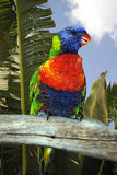 Rainbow lorikeet. Latin name Trichoglossus haematodus, perched on a tree branch in Florida Stock Image