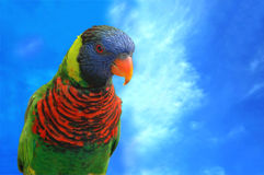 Rainbow Lorikeet. In sky background Stock Images