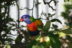 Rainbow Lorikeet. Having lunch on one of my apples royalty free stock photo