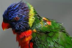 Rainbow Lorikeet. After a bird bath Royalty Free Stock Images