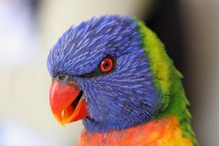 Rainbow Lorikeet. A closeup image of a Rainbow Lorikeet from Hamilton Island Australia Royalty Free Stock Photo