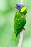 Rainbow Lorikeet Immagine Stock
