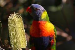 Rainbow Lorikeet. With flower Stock Images