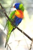 Rainbow lorikeet royalty free stock photos