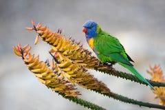 Rainbow Lorikeet on Aloe Flowers Stock Photography