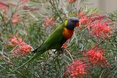 Rainbow Lorikeet Australia Stock Photos