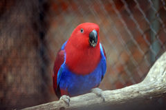 Rainbow lorikeet Stock Photography