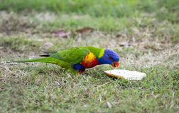 The rainbow lorikeet. Is a beautiful colored bird that is 25 to 30 cm long Stock Photography