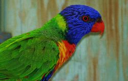 Rainbow Lorikeet. A Beautiful Rainbow Lorikeet Portraits Royalty Free Stock Photo