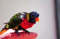 Rainbow Lorikeet bird all wet after bath Stock Photo