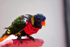 Rainbow Lorikeet bird all wet after bath Stock Photo