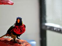 Rainbow Lorikeet bird after bath Royalty Free Stock Photo