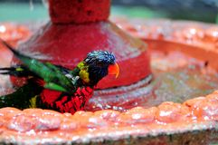 Rainbow Lorikeet bird in bird bath Stock Image