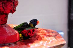 Rainbow Lorikeet bird in bird bath Royalty Free Stock Photo
