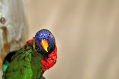 Rainbow Lorikeet bird closeup Royalty Free Stock Photos