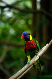 Rainbow lorikeet bird with colorful feathers sitting on wooden branch. Royalty Free Stock Photo