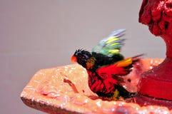 Rainbow Lorikeet bird coming out of bird bath Royalty Free Stock Images