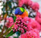 Rainbow lorikeet is eating a flower