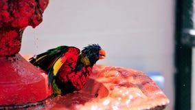 Rainbow Lorikeet bird enjoying bird bath Stock Photos