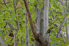The rainbow lorikeet bird perching on big London Plane tree Stock Photos