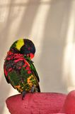 Rainbow Lorikeet bird on preening Stock Photos