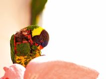 Rainbow Lorikeet bird on preening feathers Royalty Free Stock Images