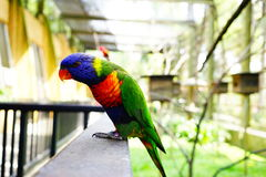 Rainbow lorikeet bird. Rainbow lorikeet stay on the caged  in blurred and bokeh background Stock Photography