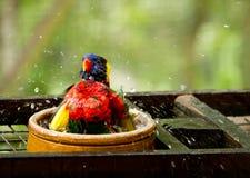 Rainbow Lorikeet. Bird taking a shower feeling good royalty free stock photography