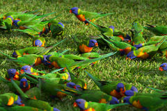 Rainbow Lorikeet birds Stock Photography