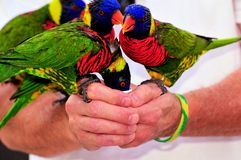 Rainbow Lorikeet birds Royalty Free Stock Images