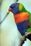 Rainbow Lorikeet on branch Stock Images