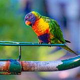 Rainbow Lorikeet Royalty Free Stock Images