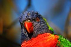 Rainbow Lorikeet Royalty Free Stock Photo