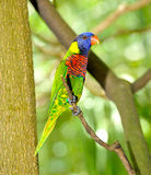 Rainbow Lorikeet Stock Photos