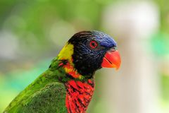 Rainbow lorikeet closeup Stock Image