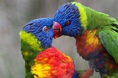Rainbow Lorikeet Stock Images