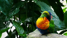 Rainbow lorikeet stock footage
